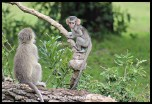 Playful Vervet Monkey baby