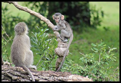 Playful Vervet Monkey baby