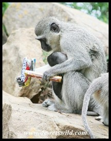 Thieving Vervet Monkey with a stolen bounty (photo by Marilize)