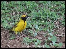 Village Weaver (male)
