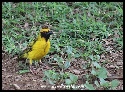 Village Weaver (male)