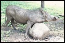 Warthog enjoying a scratch after a mudbath