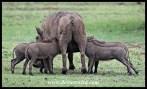 Warthog piglets suckling