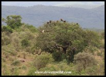 White-backed Vultures near Mpila