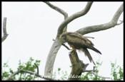 Yellow-billed Kite (photo by Joubert)