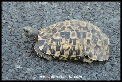 Bell's Hinged Tortoise