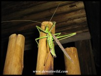 A huge bush cricket (Clonia wahlbergii) that shared our open-air shower at Mapungubwe National Park