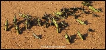Green Milkweed Locust (nymphs)