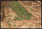 Leprous Grasshopper nymphs