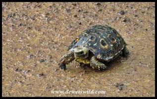 Lobatse Hinged Tortoise