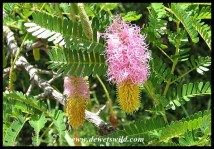 Sickle Bush flowers