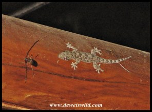 Common Tropical House Gecko eyeing a beetle