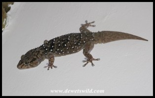 Turner's Giant Gecko
