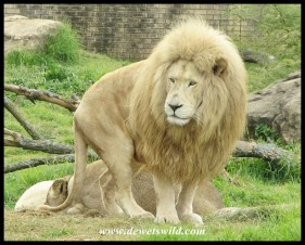 Male white Lion in the Johannesburg Zoo