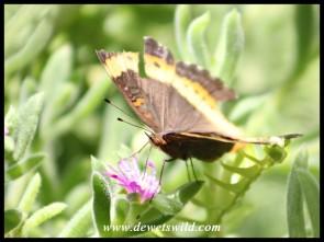 Tattered Garden Commodore (wet season colouration)