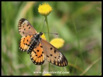 Long-winged Orange Acraea