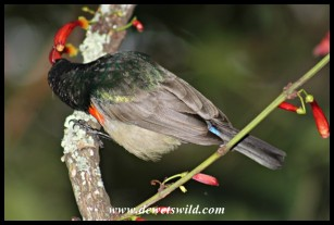 Male Greater Double-collared Sunbird feeding on nectar