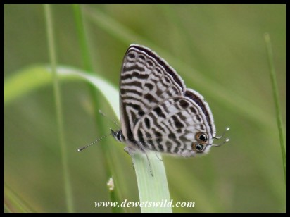 Common Blue (Leptotes sp)