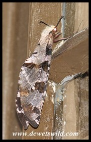 Adult Blotched Antlion
