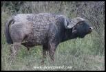 Cantankerous Buffalo bull