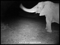 Elephant visiting us at Thutong one night (caught on our camera-trap)