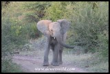 Elephant teenager showing off!