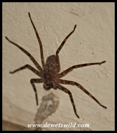 Flattie Spider against a bathroom wall