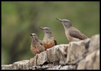 Ground Woodpeckers