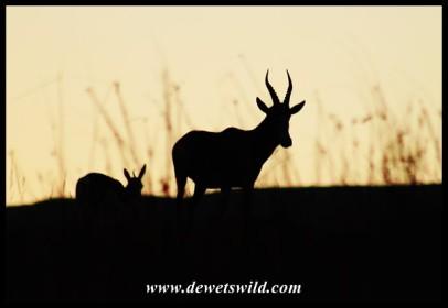 Blesbok in silhouette