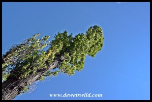 Poplar and Blue Sky