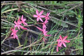 Beautiful wildflowers at Golden Gate: River Lilies