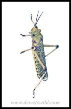 Leprous Grasshopper