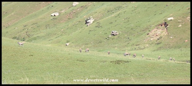 Herd of eland on a mountain slope