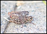 Unidentified Grasshoppers, possibly from the genus Catantops