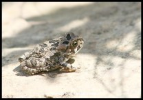 Raucous Toad (photo by Joubert)