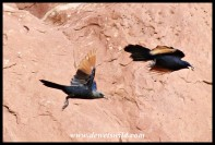Red-winged Starling pair