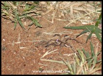Grass Funnel-web Spider
