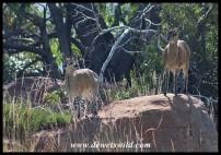 Klipspringer pair