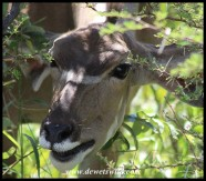 Kudu cow close-up