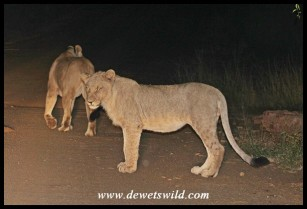 Young male lion at Marakele
