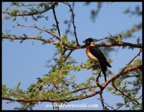 Long-tailed Paradise Whydah (shortly before molting)