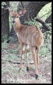 Nyala calf