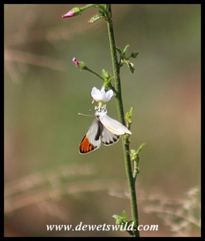 Common Orange Tip butterfly (male)