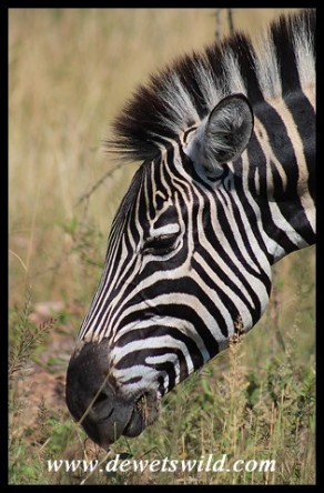 Plains Zebra close-up