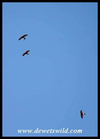 Rock Kestrels in flight