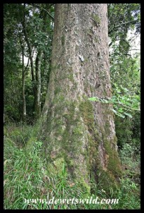 Moss growing on the trunk of a Real Yellowwood (Podocarpus latifolius) tree in the forest at Thendele