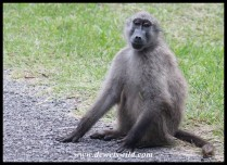 Baboon posing for a photo