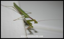 Common Green Mantid