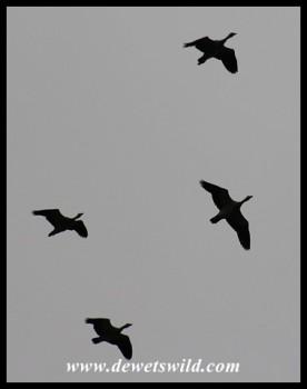 Egyptian Geese in flight