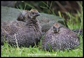 Helmeted Guineafowl youngsters